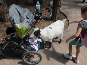 Bearizona Goats Love Baby Formula!