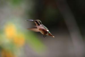 Pretty Hummingbird