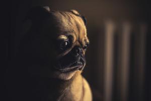 Sad little Pug Puppy